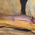 Spring Salamander by Dante Fenolio
