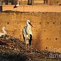 Storks In Marrakech by Carol Ailles