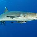 Whitetip Reef Shark, Kimbe Bay, Papua by Steve Jones