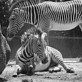 Zebras In Black And White by Rob Hans