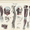 Anatomie Methodique Illustrations by Science Source