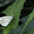 Butterfly by Robert Ullmann
