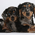 Dachshund Pups by Mark Taylor