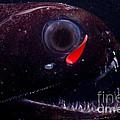 Dragonfish by Dante Fenolio