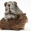 Guinea Pigs by Mark Taylor