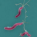 Helicobacter Pylori Bacteria, Sem by