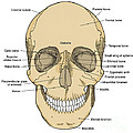 Illustration Of Anterior Skull by Science Source