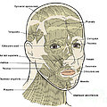 Illustration Of Facial Muscles by Science Source