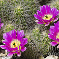 Pink Cactus Flowers by Jim And Emily Bush