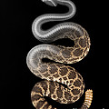 Southern Pacific Rattlesnake X-ray by Ted Kinsman