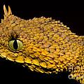 Usambara Eyelash Bush Viper by Dante Fenolio