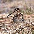 Wilsons Snipe by Doug Lloyd