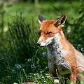 A British Red Fox by Dawn OConnor