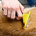 Dog Grooming by Photo Researchers, Inc.