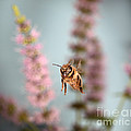 Honey Bee In Flight by Ted Kinsman