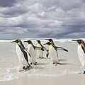 King Penguin Aptenodytes Patagonicus by Ingo Arndt