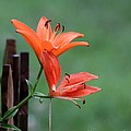 Lily Flowers by Jack R Brock