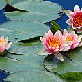 Water Lily by Paul Slebodnick