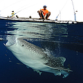 Whale Shark Feeding Under Fishing by Steve Jones