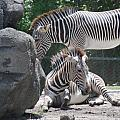 Zebras by Rob Hans