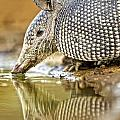 9 Banded Armadillo by Fred J Lord