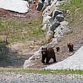 Black Bear Family by Carol Ailles