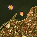 Hepatitis C Viruses, Tem by Thomas Deerinck, Ncmir