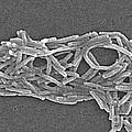 Legionella Pneumophila by Science Source