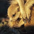 A Baby Meerkat Snuggles by Mattias Klum