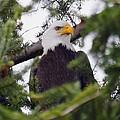 A Bald Eagle by Raven Regan