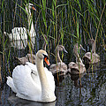 A Bevy  Of Swans. by Terence Davis