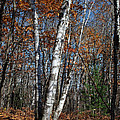 A Birch Radiating Its White Beauty In The Forest by Janice Adomeit