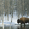 A Bison Stands In A Cold  Stream by Norbert Rosing