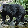 A Black Bear, Ursus Americanus, Walks by Bill Curtsinger