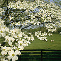 A Blossoming Dogwood Tree In Virginia by Annie Griffiths
