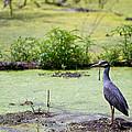 A Blue Bird In A Wetland -yellow-crowned Night Heron  by Ellie Teramoto