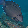 A Blue Tang Surgeonfish, Key Largo by Terry Moore