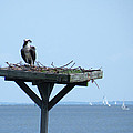 A Boat Watching Osprey by Kimmary MacLean