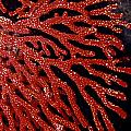 A Bright Red Gorgonian Soft Coral by Jason Edwards