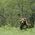 A Brown Bear In Tall Grasses by Klaus Nigge