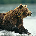 A Brown Bear Rushing Through Water by Klaus Nigge