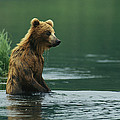 A Brown Bear Standing In Water Hunting by Klaus Nigge