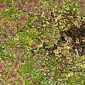 A Bullfrog Rana Catesbeiana Hiding by Jack Goldfarb