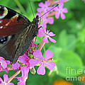 A Butterfly On The Pink Flower 2 by Ausra Huntington nee Paulauskaite