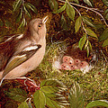 A Chaffinch At Its Nest by William Hughes