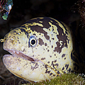A Chain Moray Eel Peers Out Of Its Hole by Terry Moore