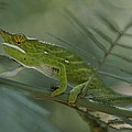 A Chameleon With Yellow Eyes Balances by Michael Melford
