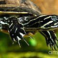 A Chicken Turtle In Aquarium Tank On Cape Cod by Matt Suess