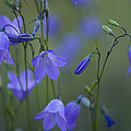 A Close Up Of Mountain Hairbells Dietes by Ralph Lee Hopkins