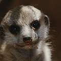 A Close View Of A Meerkat Suricata by Mattias Klum